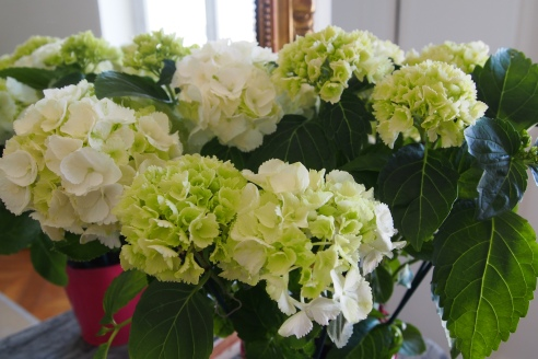 Must google how to care for hydrangea
